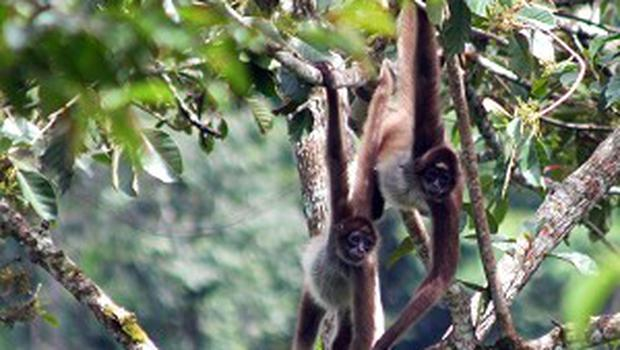 Two love-struck gay spider monkeys will be given a special meal on Valentine's Day