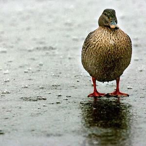 A mallard flew clean through the windscreen of a woman's car, the Autoglass company reported