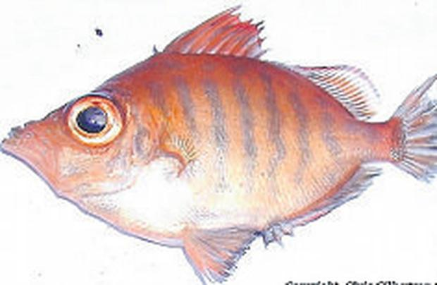 The Atlantic boarfish: weighs only 50 grams