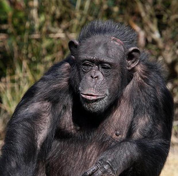A study of captive chimpanzees and orang-utans found that their sense of wellbeing was highest in youth and old age