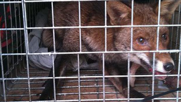 Romeo the fox was captured on the Shard building, which is more than 288 metres high