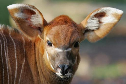 The one month old newborn bongo antelope calf ventures out in the cold in his enclosure at London Zoo. Credit: Christopher Lee, Getty Images