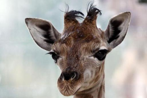 Newborn Giraffe Ulla Takes First Steps at Tiergarten Friedrichsfelde in Germany. Ulla was born on 19th June at the Zoo from mother Lotti and father Alexander. Photo: Getty Images
