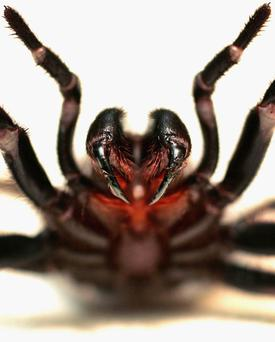 A funnel-web's fangs can penetrate soft shoes and fingernails. Photo: Getty Images