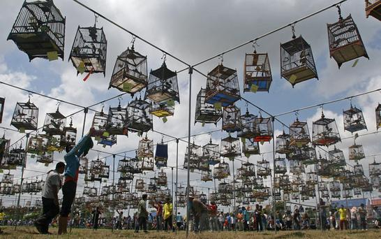 Thai villagers hang their birds up as they gather for a bird-singing contest in the southern Thai province of Narathiwat. Photo: Getty Images