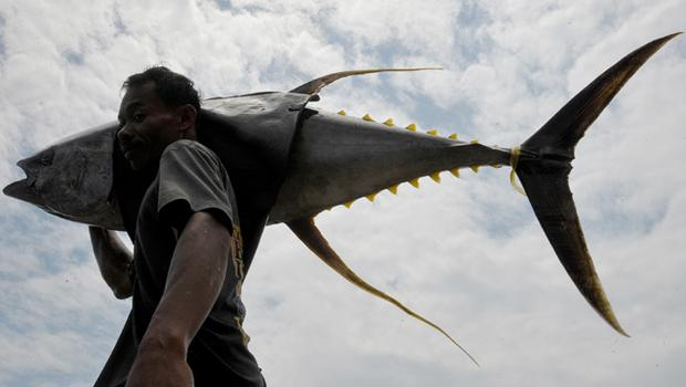 A worker in unloads yellow fin tuna in the southern Philippine city of General Santos. The city is considered the tuna capital of the Philippines, exporting to the United States and Europe. Photo: Getty Images