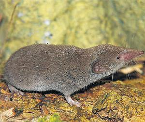 The greater white-toothed shrew