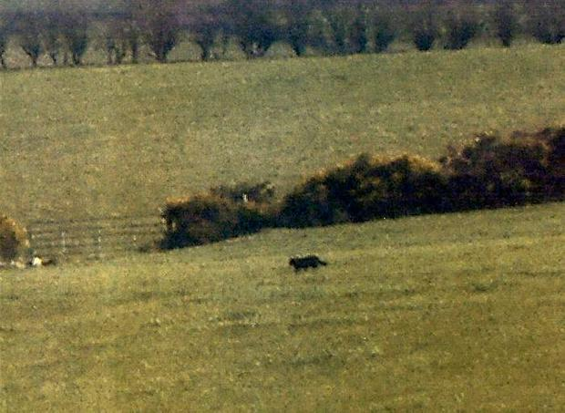 The suspected cougar crossing a field near Letterkenny