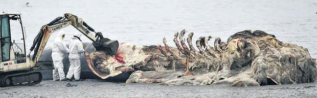 The decomposing Fin Back whale on a sandbank off Courtmacsherry, in West Cork, as an attempt is made to move the 50-tonne carcass, now the subject of a local dispute