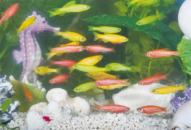 Glofish were originally bred to help detect water pollution but have since been banned across the EU because they pose a danger to native fish species