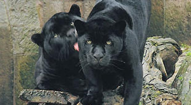 Black panthers (stock)