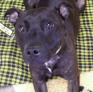 Jovi the Staffordshire bull terrier has his tail bandaged by staff at Dogs Trust in West Calder