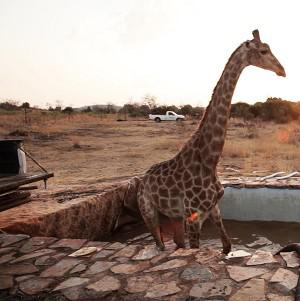 Giraffe Lucy fell into the swimming pool on the set of ITV1 drama Wild At Heart