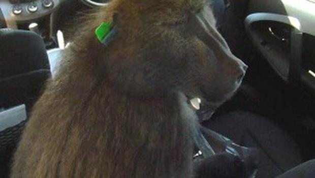 A bullet-ridden baboon learned how to steal food from inside cars and terrorised people in Cape Town (Channel 4/PA)