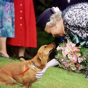 The Queen's favourite dog breed, corgis, are seeing an increase in interest in the Jubilee year
