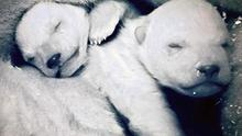A pair of two-day-old polar bear cubs, seen in BBC's Frozen Planet.  Photo: BBC