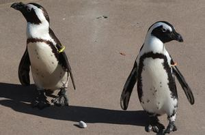 Buddy (left) and Pedro in their enclosure at Toronto Zoo. Photo: AP