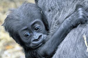 Tiny with his mum Mjukuu at London Zoo. The baby died from injuries after being attacked by silverback male Kesho
