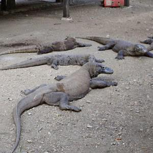 An Indonesian ranger was attacked by a komodo dragon (AP)