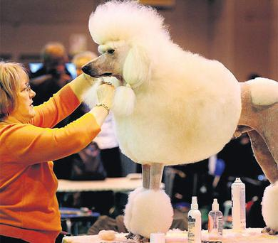 VALUABLE DOG: A standard poodle pictured at Crufts dog show recently. Thousands of dogs and their owners took part in the world's largest dog show, Crufts. The majority of the dogs are insured