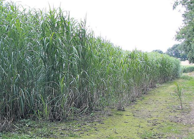 Energy crop - miscanthus