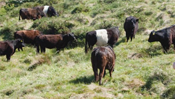 Hardy Galloway and Belted Galloway cattle breeds.