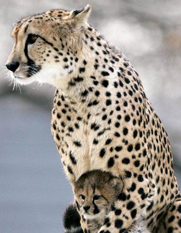 To be spotted again: India wants to bring back the cheetah