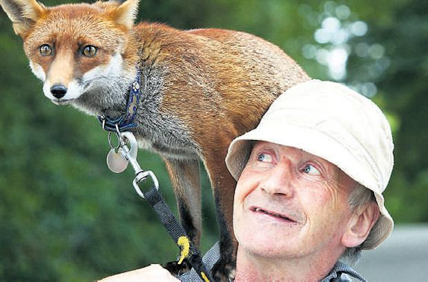 Patsy Gibbons from Thomastown, Co Kilkenny, pictured with Grainne, his pet fox. Grainne was discovered trapped in a cardboard box in 2007. Photo: DYLAN VAUGHAN