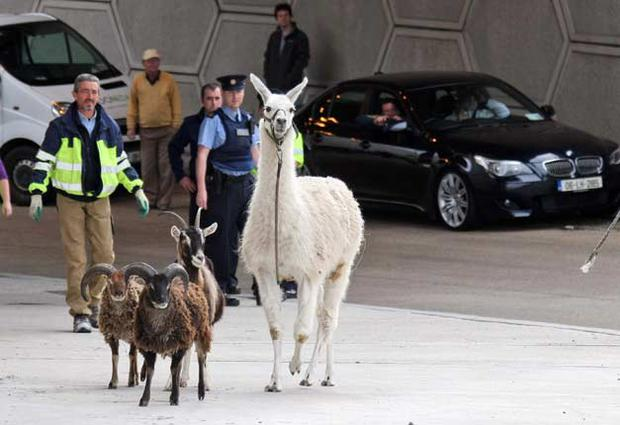 One of the llamas and three of the goats wandering loose on the M50 on Thursday