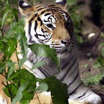 Bengal tigers have been 'adopted' by 18,000 people in the UK, WWF said
