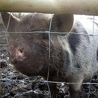Rosie, a cross-breed pig, is in need of a new home