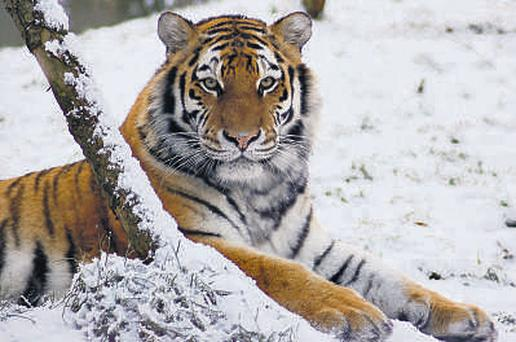 A Siberian tiger at Dublin Zoo yesterday