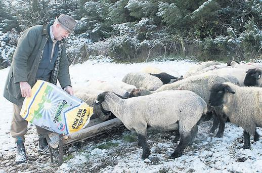 LUNCHTIME: Frank McMonagle, Raphoe, Co Donegal, feeds his suffolks after recent heavy snow falls covered much of the ground on his farm CLIVE WASSON