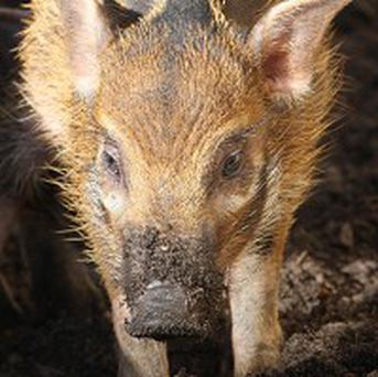 A pack of wild pigs disrupted German highway for hours