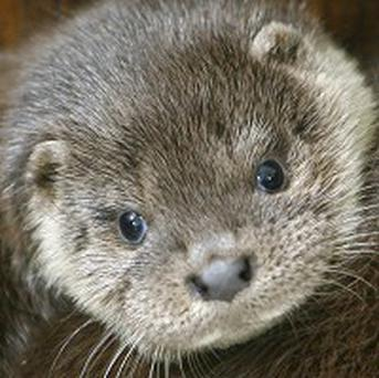 A young otter may have climbed a tree as an act of teenage rebellion, say experts