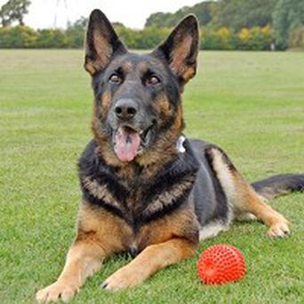 Internet sensation Heidi has retired from breeding dogs for police work