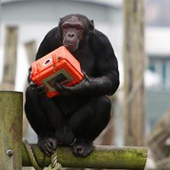 A chimpanzee using a special chimp-proof camera to shoot video footage