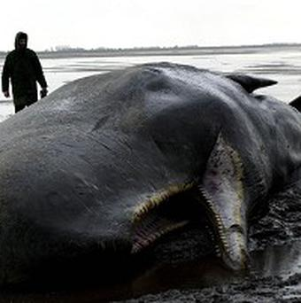 People have been warned not to steal teeth from a whale washed up in Northumberland