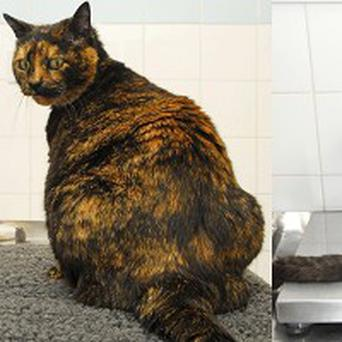 Amber the cat before shedding 1.2kg to win a pet slimming award