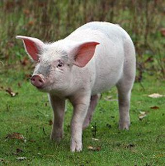 Man and woman ordered to pay community a pig and some buffaloes because of affair