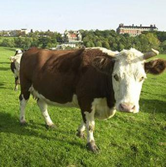Cows now outnumber people in New Zealand