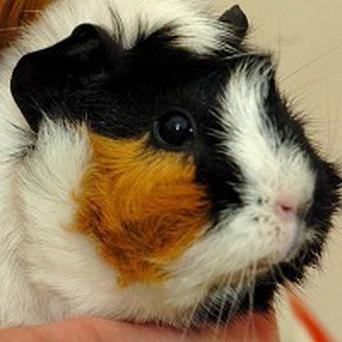Guinea pigs are being used as livestock