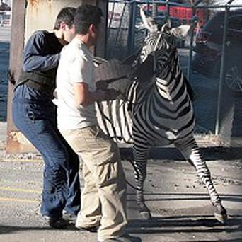 Rescuers try to contain a zebra on a busy highway in downtown Atlanta (AP)