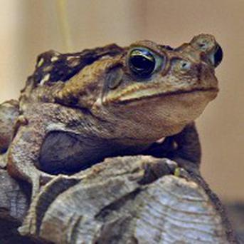 Researchers in Australia are using cat food as a weapon to fight against cane toads