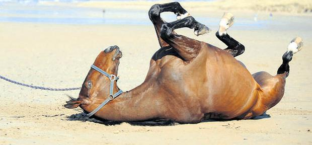 Tom Cooper's stable star Forpadyplasterer takes a roll in the sand on Banna Beach, outside Tralee, ahead of his Champion Chase preparations