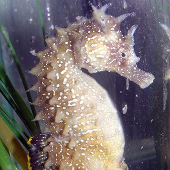 The rare spiny seahorse was discovered near Weymouth, Dorset