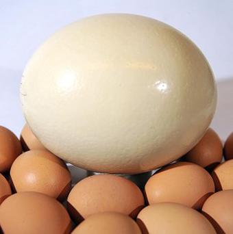 A Clarence Court Ostrich egg sits with medium sized chicken eggs