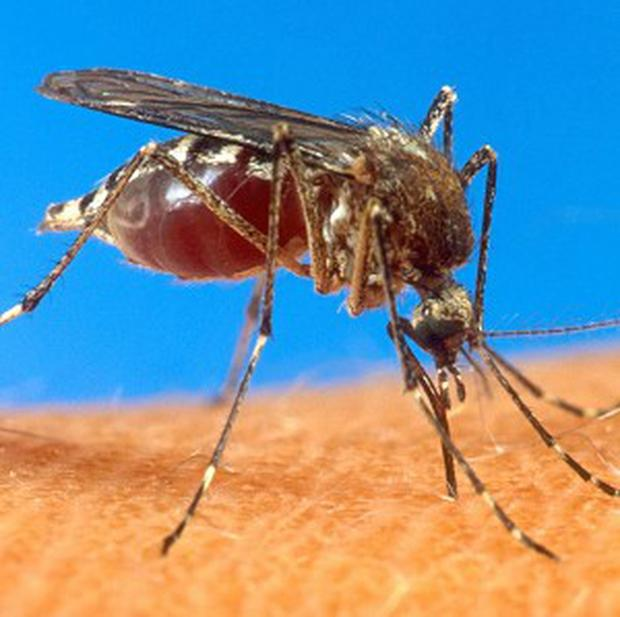 A mosquito which vaccinates as it bites has been developed by scientists