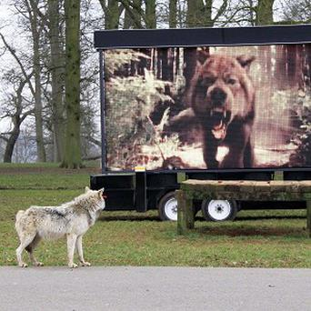 A Canadian wolf at Longleat Safari Park in Wiltshire watches New Moon
