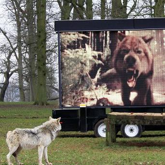 A Longleat wolf stops to watch the New Moon DVD